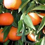 Cytrusy: rośliny, drzewka i owoce cytrusowe