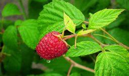 Jakie nawozy ekologiczne do malin sprawdzą się najlepiej?